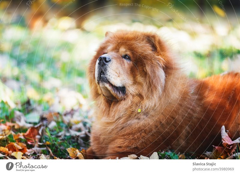 Portrait of a beautiful Chow Chow  male dog lying among autumn leaves  on sunny day animal breed brown canine china chinese breed chow chow chow chow-chow