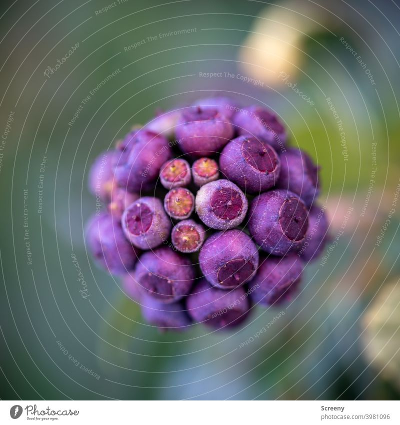 Spherical capsules Nature Plant balls encapsulate Blossom Growth Attachment purple Green naturally Macro (Extreme close-up) Classification Structures and shapes