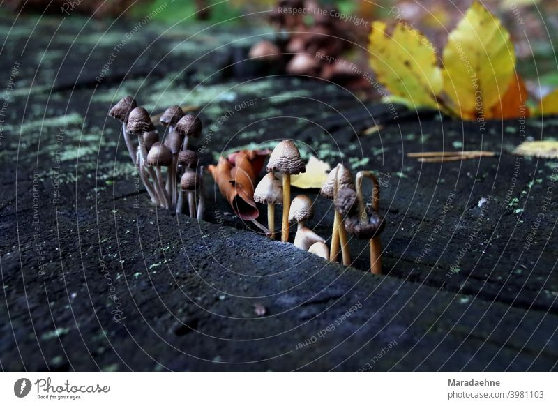 Some colorful mushrooms growing on an old chopped tree trunk in the fall. Mushroom Colour photo Autumn Close-up Nature Forest Shallow depth of field Environment