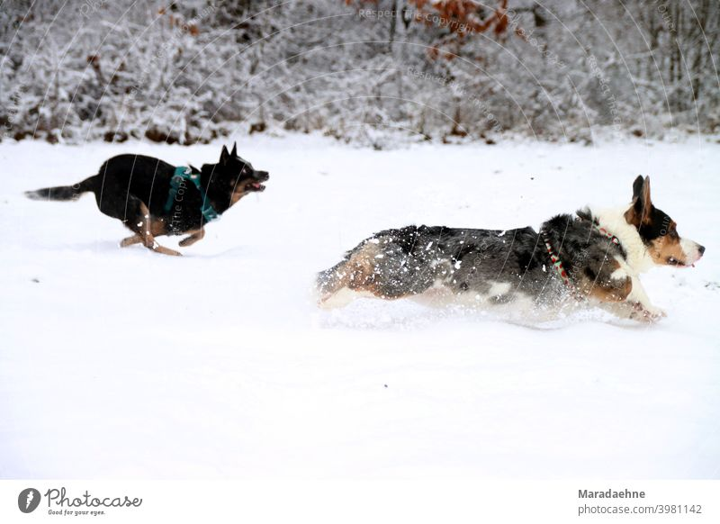 Dog racing in the snow dogs Australian cattle dog corgi Welsh Corgi Welsh Corgi Cardigan Snow Running Chase head to head Breed Exterior shot Purebred