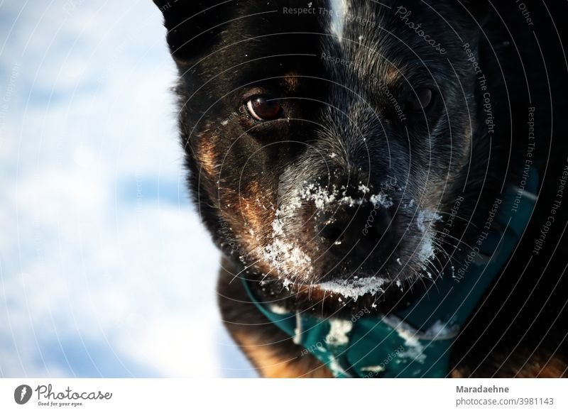 Potrait of an Australian Cattle Dog in the snow Australian cattle dog Snow portrait Animal Colour photo Pet Exterior shot Nature Purebred Purebred dog Mammal