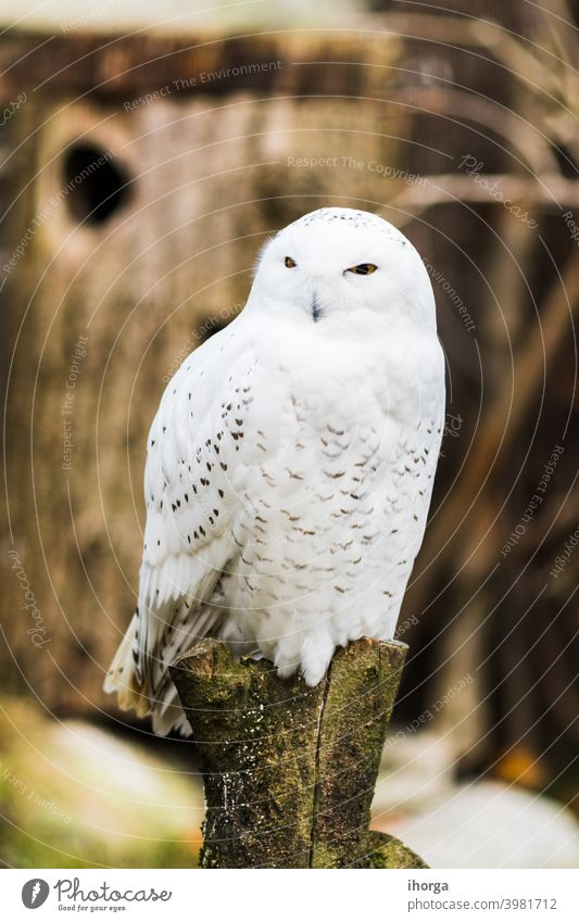 Snowy owl perched on a branch in spring animal animals background beautiful beauty bird closeup cold color conservation cute eye fauna feathers funny habitat