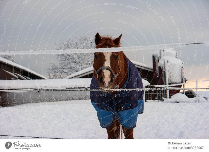 Brown horse in a pen during snowy winter blue cover on his back looking at the camera covered dressed wintertime outside landscape wonderland strong male gray