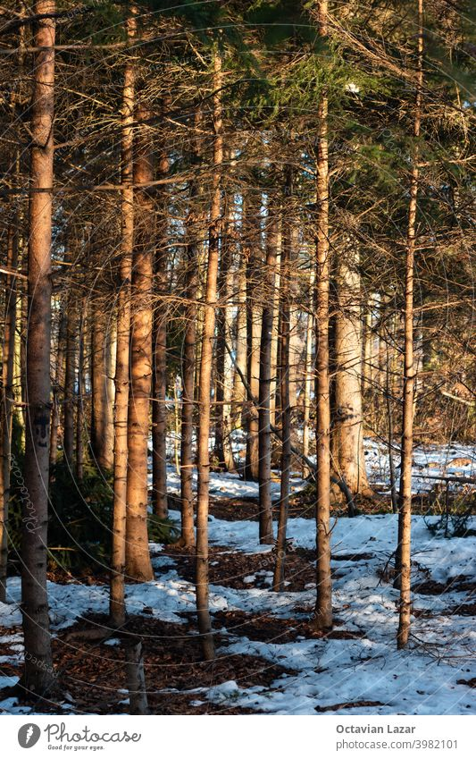 Melting snow in forest scene late evening with sunset light green fir pine switzerland swiss sunshine warm melting wintry nobody hiking path freeze january