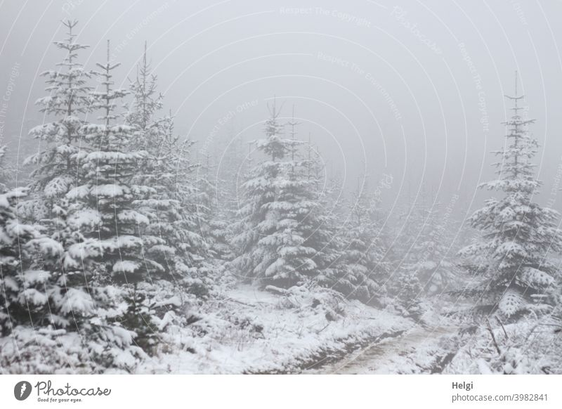 Fir protection in snow with dense fog Tree Fir tree Fir conservation Snow Winter Winter mood off Fog opaque Misty atmosphere Cloud forest fir tree snowy foggy