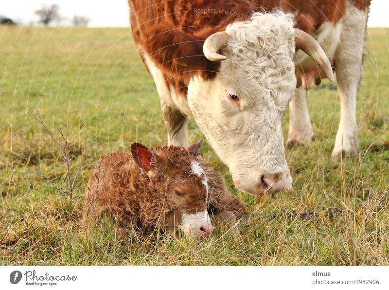 a newborn calf lies in the grass in front of its mother / beef cattle / animal behaviour Cattle Calf Calves Fleischfleckvieh Free-range rearing