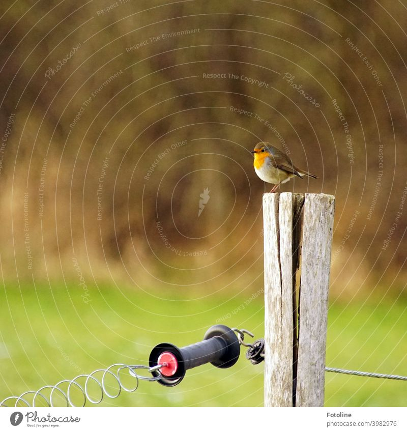 A small fluffed robin sits on the pillar of a cattle pasture in the dreary snowless winter. Robin redbreast Bird Animal Exterior shot Nature Colour photo 1