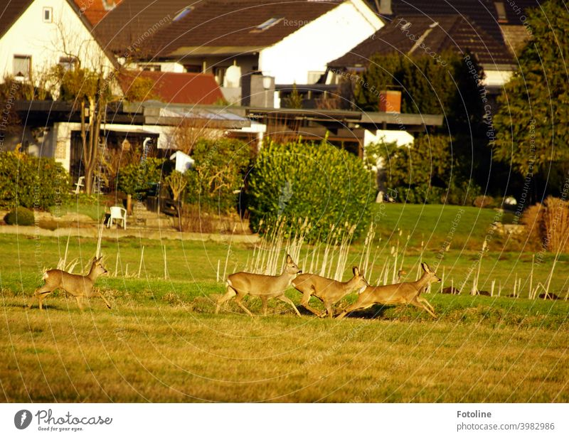 So close to humans. The deer with us in the Drömling nature reserve come very close to the adjacent houses. Roe deer Wild animal Jump Running Walking Animal