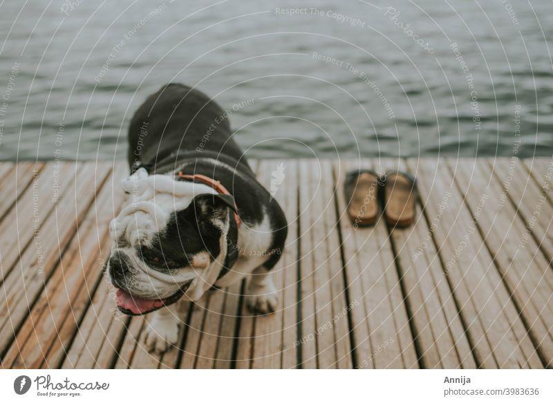 After swim english bulldog shoes summer swiming water lake sea heat Pet Dog Animal French Bulldog Cute