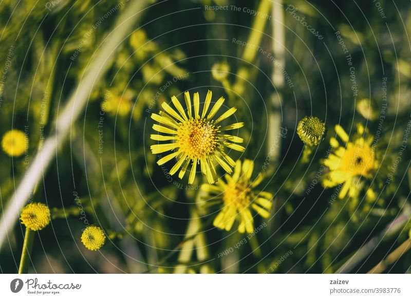 yellow limbarda flowers seen up close Limbarda crithmoides colours edge golden daisy wales nature green beauty macro floral color petal bright pollen