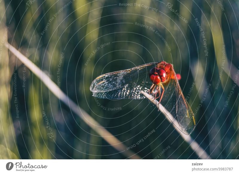 red dragonfly seen up close in a field a sunny day. horizontal peaceful predator tranquility eye life flying fragile slim biology delicate hunter image looking