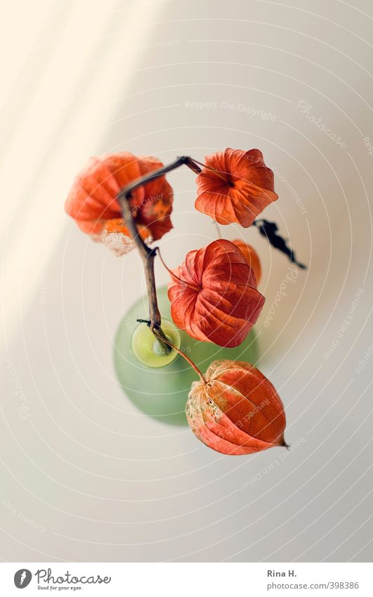 Physalis II Plant Chinese lantern flower To dry up Bright Green Orange Transience Still Life Vase Colour photo Interior shot Deserted Copy Space top