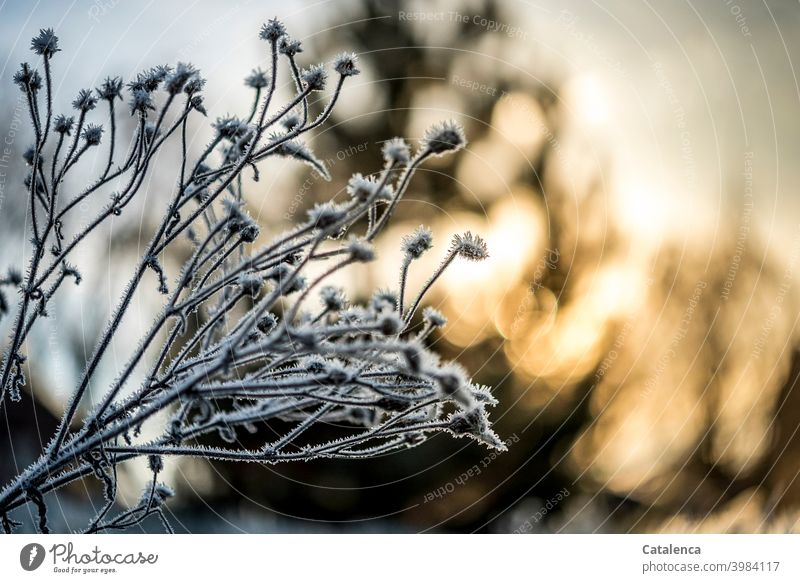 Frost covered inflorescences in the foreground, in the background the sun is setting Nature Season Winter Ice chill Plant Flower Tree Sky Sunlight Twilight