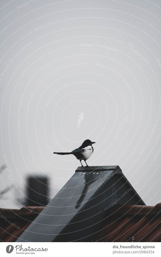 Magpie on roof Bird Spring Animal Exterior shot Nature Feather Garden Small Close-up Winter Beak Wild pretty animal world songbird Ornithology Colour photo