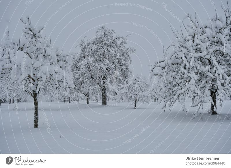 Deep snow covered fruit trees on tree field apple trees Virgin snow Snow snowy Winter White winter landscape Nature Snowscape Winter's day Seasons Exterior shot