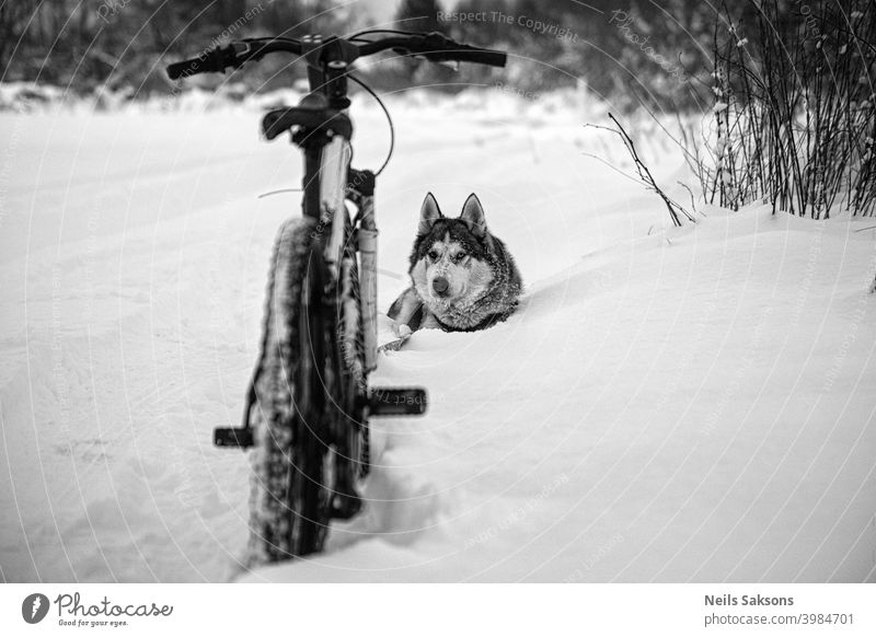 husky and bicycle / nowhere else to go snow is too deep / moment of relaxing Animals winter beautiful bike canine competition cross dog domestic outdoors pets