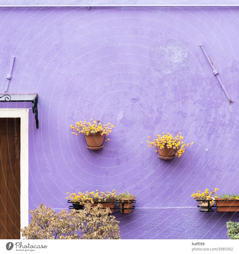 Flower pots on a purple wall in the old town of Venice Wall (building) Old town flowerpots Plant Hang Wall (barrier) House (Residential Structure) Facade