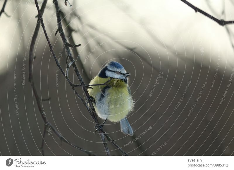 Cyanistes caeruleus, Blue Tit, Eurasian Blue Tit, European Blue Tit, Blaumeise. A titmouse with a blue tuft sits on birch branches on a frosty winter day.