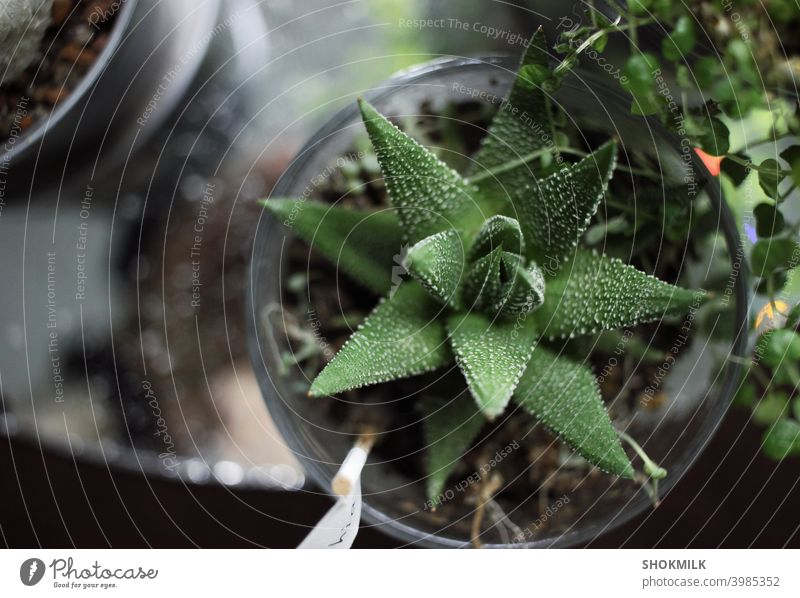 haworthia succulent plant in a glass pot on a mirror surface surrounded by other plants cactus organic potted plant gardening decor natural nature flora