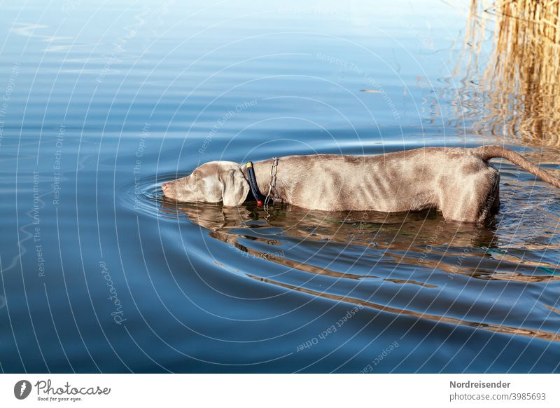 Young Weimaraner hunting dog exploring a lake Dog pointing dog Water Lake bathe be afloat Study explore Waves reed boyfriend best friend Drinking Hunting Puppy