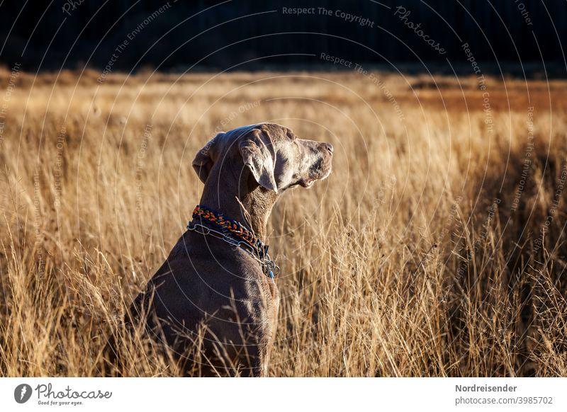 Young Weimaraner hunting dog enjoys the evening sun Dog Hound pointing dog Forest explore boyfriend best friend Hunting Pride splendour Pelt Camouflage Sun