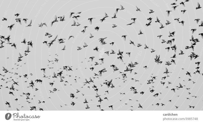 flocked birds gaze Flock of birds Many Black & white photo swarm intelligence swarm behaviour Flying