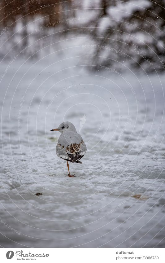 small seagull standing on frozen lake in winter Seagull Bird Snow Winter One-legged Freeze Cold Frost Ice Nature Pond Hoar frost Macro (Extreme close-up)