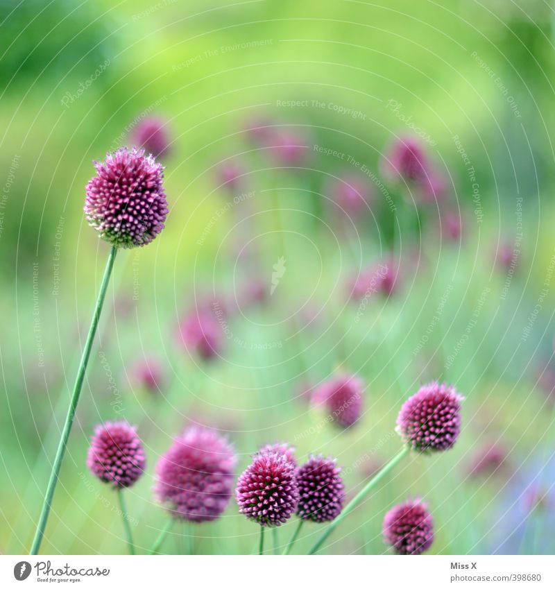 ornamental garlic Spring Flower Blossom Garden Blossoming Violet Garden plants Colour photo Multicoloured Exterior shot Deserted Copy Space top