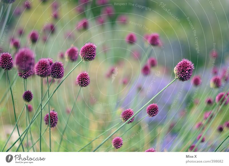 Purple Flowers Plant Spring Summer Blossom Garden Blossoming Fragrance Growth Green Violet ornamental garlic Colour photo Multicoloured Exterior shot Close-up