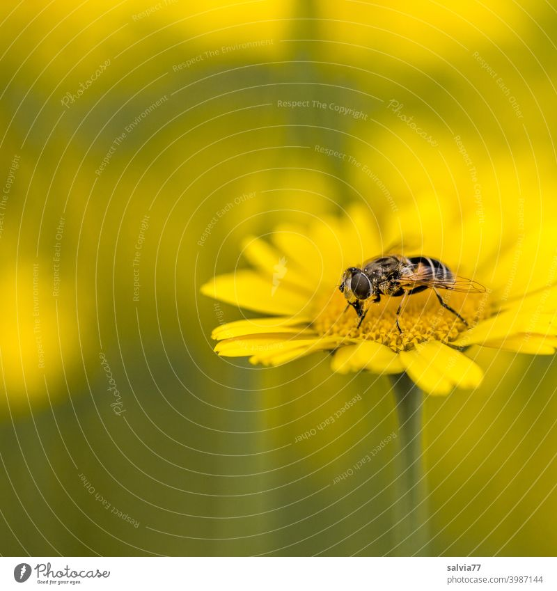 Flower meadow in yellow Nature Insect repellent Animal Dyer's camomile hoverfly Plant Blossom Colour photo Yellow Shallow depth of field Summer