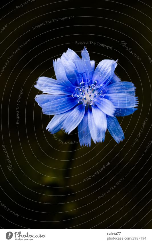 blue flower against black background Flower Blossom Cichory Chicory Cichorium Contrast Isolated Image Nature Neutral Background Plant Macro (Extreme close-up)