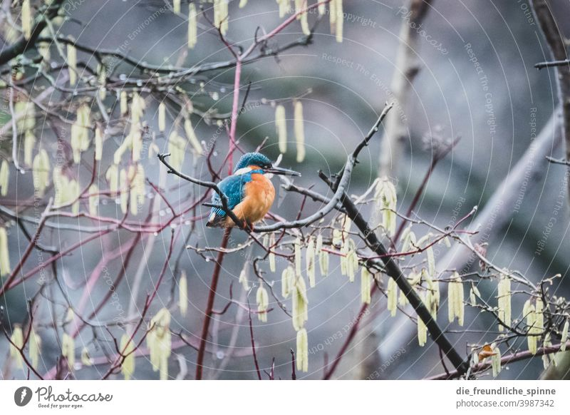 Kingfisher on branch Bird Flying Spring Branch Animal Exterior shot Nature Feather Garden Small Close-up Winter Beak Wild pretty animal world songbird