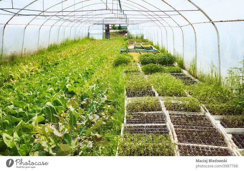 Interior of an old greenhouse with organic vegetables cultivation. farm seedling agriculture gardening interior nobody rural industry food natural plant fresh