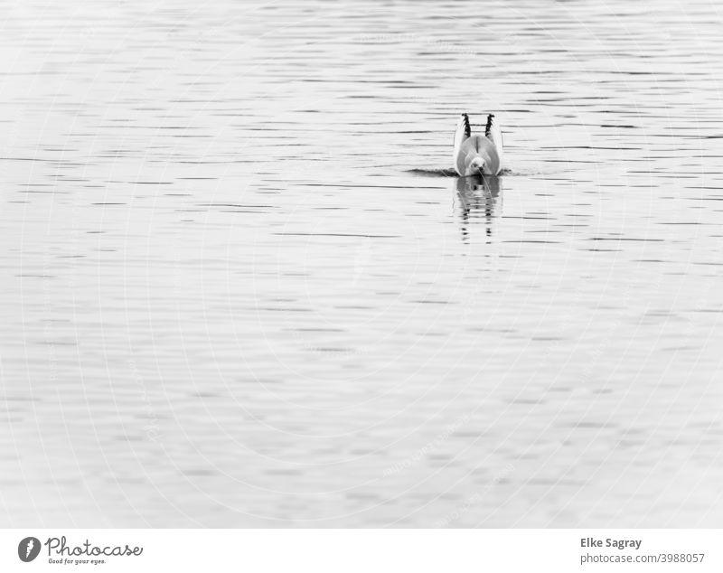 Can bunnies swim .... #gull#outside#water#minimalism Black & white photo Water Bird Animal Deserted Nature