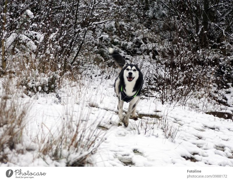 Husky lady Alice enjoys her free run in the snow Dog Animal Winter Snow Cold White Exterior shot Nature Pet Frost Ice Landscape Colour photo Day Sled dog Mammal