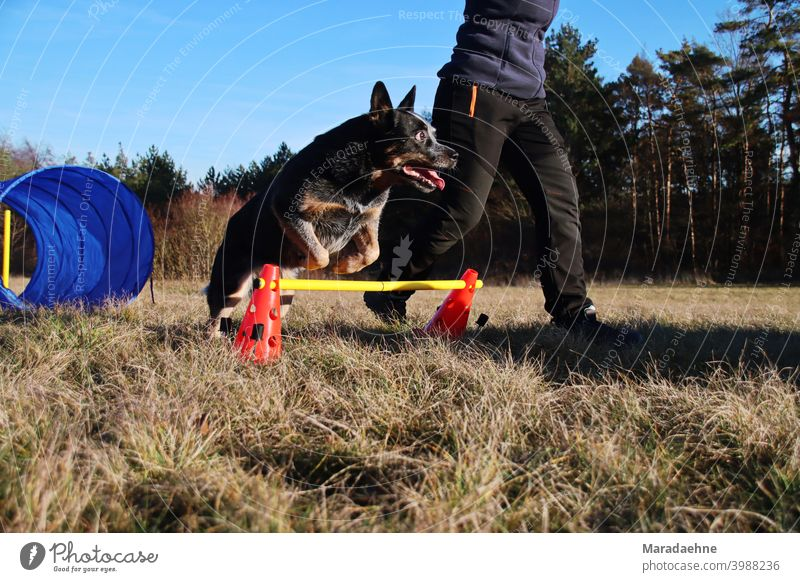 Dog Agility agility sport Jump Purebred Purebred dog Australian Cattle Dog Relationship outdoor Hurdle Tunnel Excitement Mammal breed of dog Exterior shot