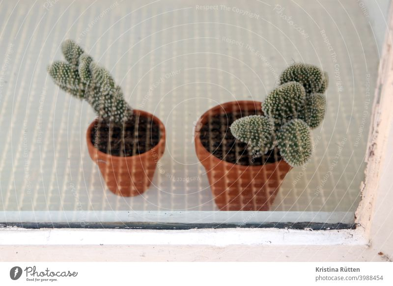 two small cacti behind safety glass Cactus potted plants Houseplants Green plants flowerpots Window pane Shop window Slice Glass Safety glass prickles thorns