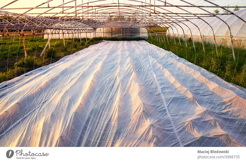 Floating row cover is the organic farm at sunset. natural plastic floating row cover rural mulch garden plant greenhouse plasticulture horticulture agriculture