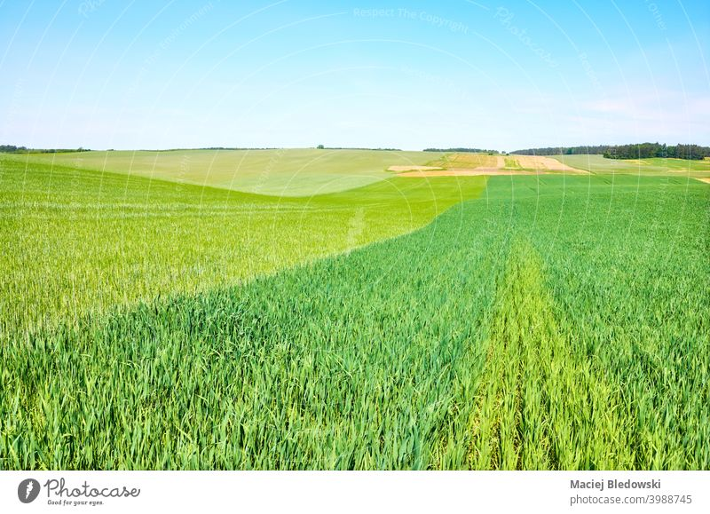 Green crop field on a sunny day, agricultural landscape. green nature growth farming rural agriculture horizon grass sky harvest farmland country cultivate hill