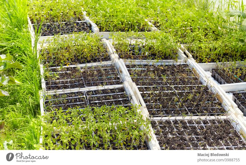 Seedlings in boxes at organic vegetable farm. seedling nature growth plant farming agriculture garden gardening green natural healthy nobody rural industry food