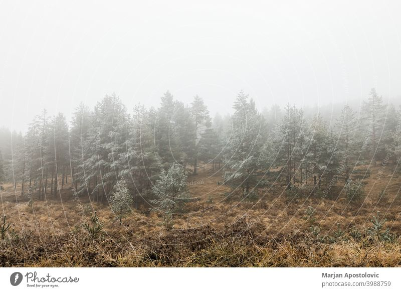 Pine forest in the mountains on a frosty winter morning cold dawn evergreen fir fog foggy freeze hoarfrost icy idyllic landscape loneliness majestic mist misty