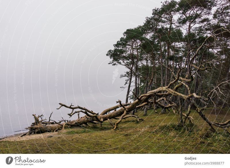 weathered tree at forest edge and water sunk in fog Forest Tree Weathered Flotsam and jetsam Fog Green trees Meadow Sand Beach Baltic Sea Colour photo