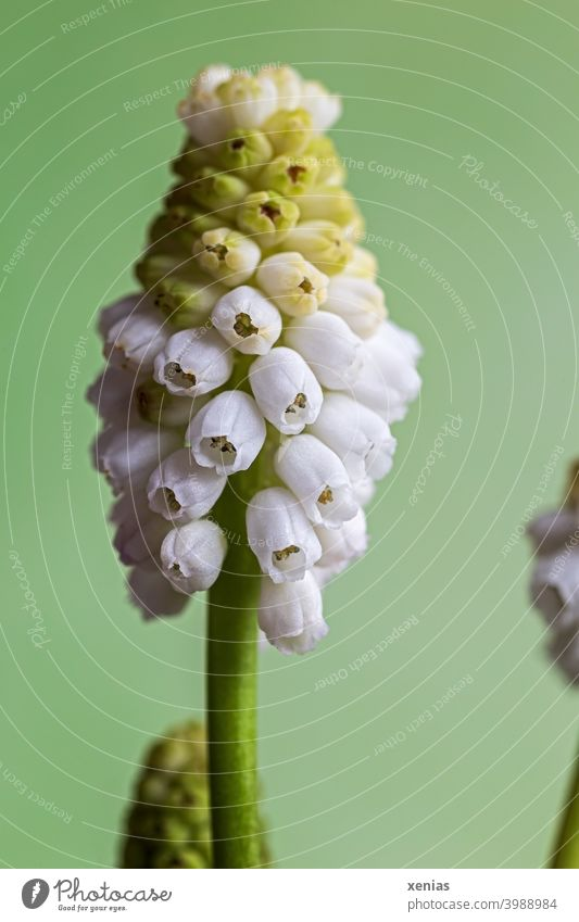 White grape hyacinth against green background Muscari Blossom Spring flower Green Plant Blossoming Flower Hyacinthus Spring fever romantic Spring colours