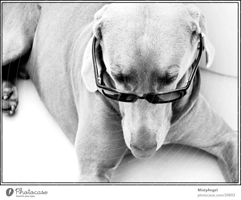 Dog Eyeglasses Sunglasses Weimaraner