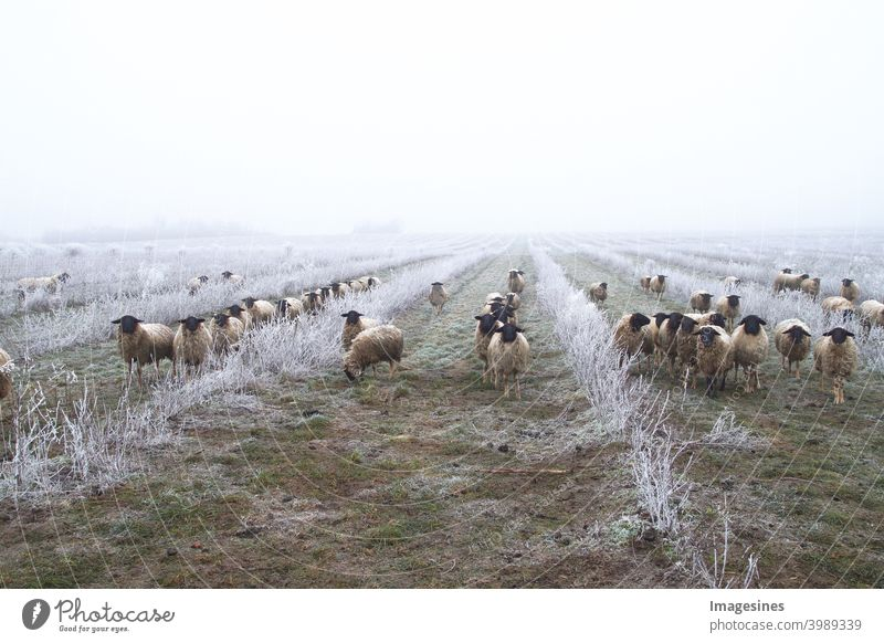 Weed control with sheep. Grazing animals, flock of sheep in a plantation of chokeberry bushes, chokeberry fruit. Freezing rain storm with fog in the frosty winter landscape.