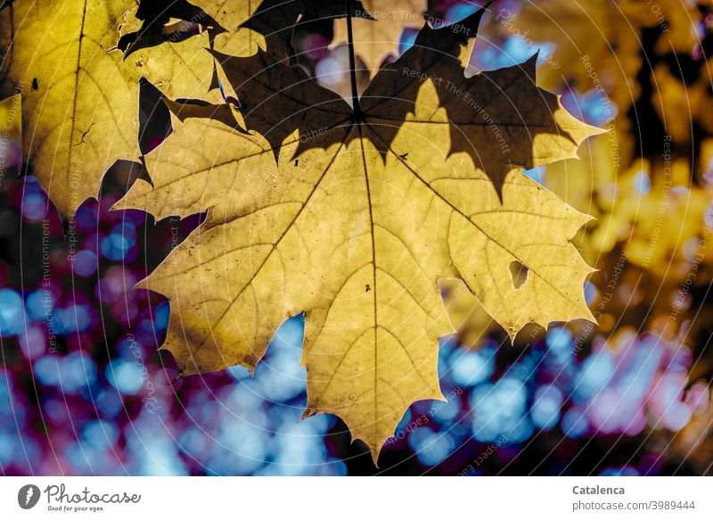 Maple leaves in autumn Nature flora Plant Tree Leaf Maple tree Maple leaf Autumn Season Sky Day daylight Autumnal Change wither Transience Yellow Blue purple