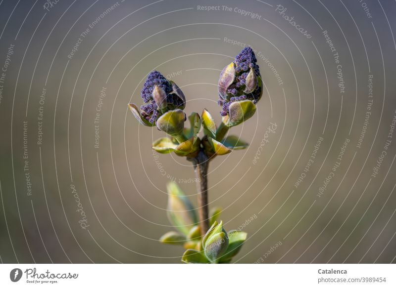Lilac buds in spring Nature flora Plant lilac Blossom Spring Day daylight Anticipation wax Flourish Garden come into bloom Green purple