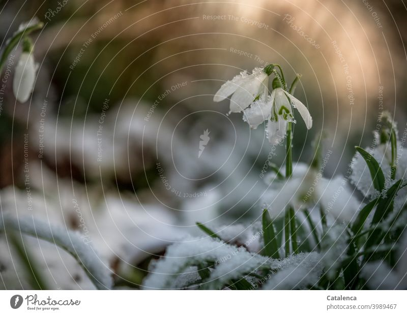Snowdrops in the snow in the evening Garden daylight Day Sky Anticipation Season Spring Leaf Blossom Flower Plant flora chill onset of winter Winter