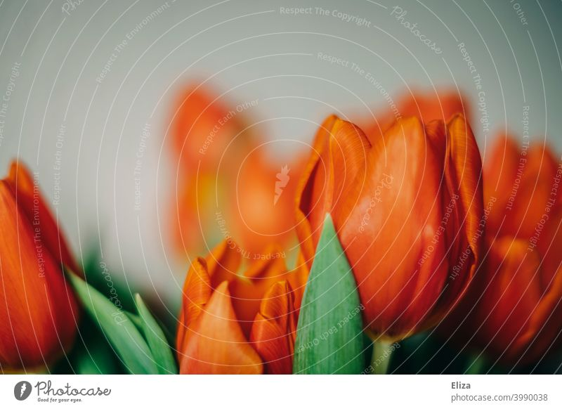 Close up of red tulip flowers tulips Red blossoms Close-up Spring pretty Blossom Bouquet Blossoming