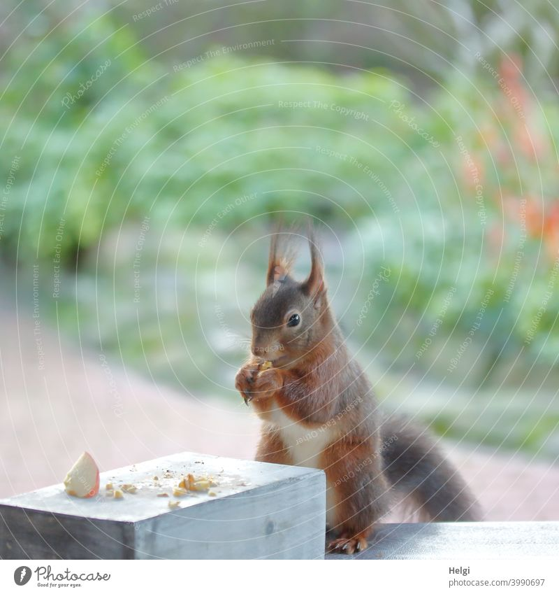 Breakfast time - squirrel sitting on the patio table eating a nut Squirrel Animal Wild animal To feed Feed Table Garden Colour photo Exterior shot Nature 1 Day